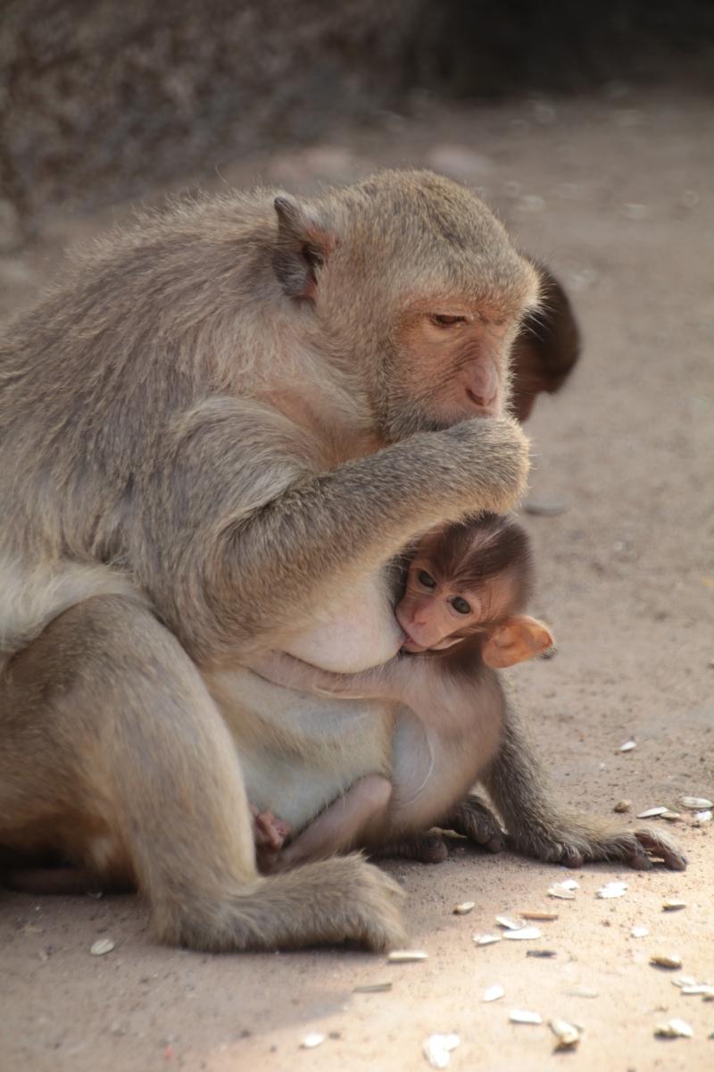 Lopburi und die Invasion der Affen